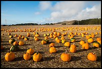 Pumpkins in field. Half Moon Bay, California, USA ( color)