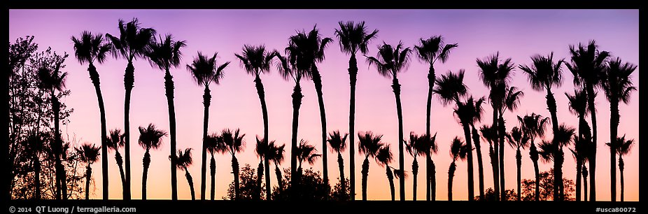 Row of palm trees at sunset. Los Angeles, California, USA (color)
