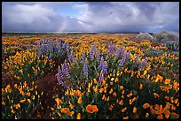 Lupines, California Poppies, and rainbow early morning. Antelope Valley, California, USA