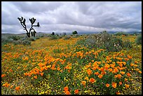 California Poppies and Joshua Trees. Antelope Valley, California, USA
