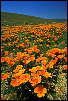 California Poppies in spring, hills W of the Preserve. Antelope Valley, California, USA ( color)