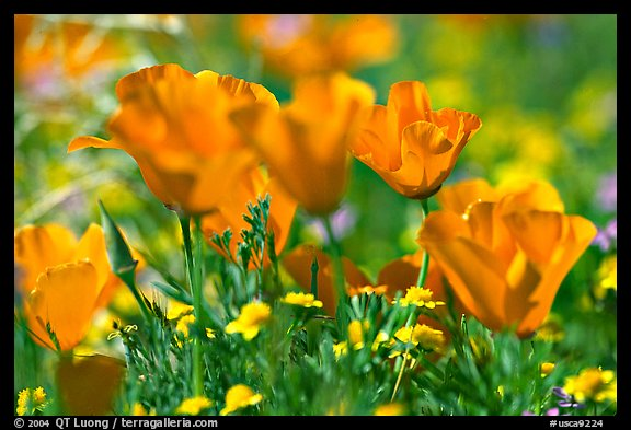 Close up of California Poppies. Antelope Valley, California, USA (color)