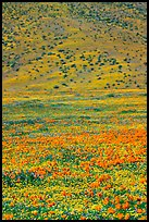 Hillside covered with California Poppies and Desert Marygold. Antelope Valley, California, USA