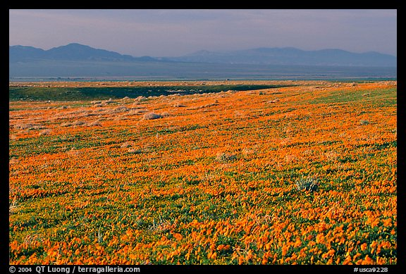 Meadow covered with poppies and Tehachapi Mountains at sunset. Antelope Valley, California, USA