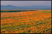 Meadow covered with poppies and Tehachapi Mountains at sunset. Antelope Valley, California, USA ( color)