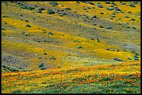 Hillside covered with California Poppies and Desert Marygold. Antelope Valley, California, USA ( color)