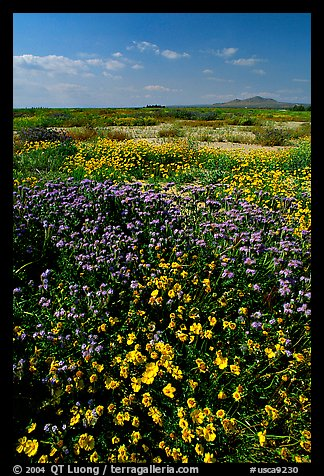 Yellow and purple desert flowers on mud flats. Antelope Valley, California, USA