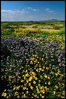 Yellow and purple desert flowers on mud flats. Antelope Valley, California, USA ( color)