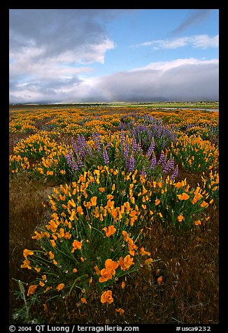 Lupines and California Poppies. Antelope Valley, California, USA (color)