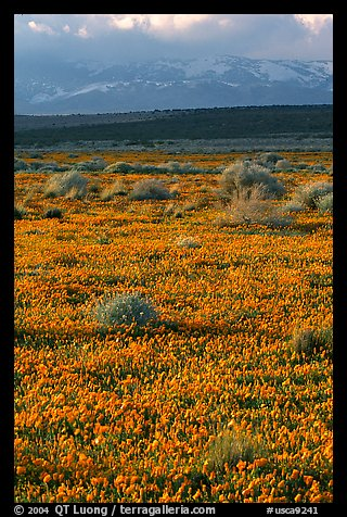 Meadow covered with poppies, sage bushes, and Tehachapi Mountains at sunset. Antelope Valley, California, USA