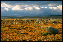 Meadow covered with poppies and sage bushes. Antelope Valley, California, USA