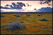 Meadow covered with poppies and sage bushes at sunset. Antelope Valley, California, USA