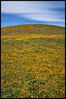 Hills W of the Preserve, covered with multicolored flowers. Antelope Valley, California, USA