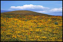 Hills W of the Preserve, covered with multicolored flowers. Antelope Valley, California, USA ( color)