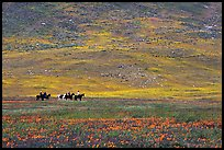 Horseback riders in hills covered with multicolored flowers. Antelope Valley, California, USA