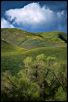 Trees, verdant hills,  Gorman Hills. California, USA ( color)