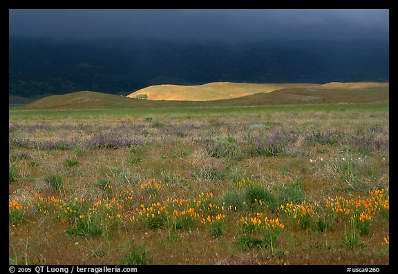 Meadow with closed poppies under a stormy sky. Antelope Valley, California, USA