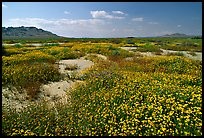Wildflowers growing out of mud flats. Antelope Valley, California, USA
