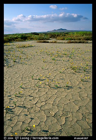 Wildflowers growing out of cracked mud flats. Antelope Valley, California, USA (color)