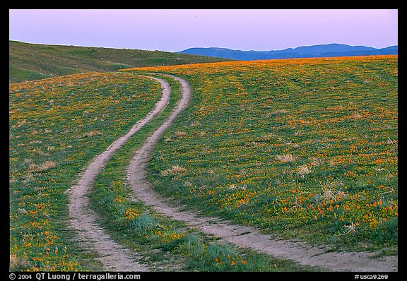 Curvy tire tracks in a wildflower meadow. Antelope Valley, California, USA
