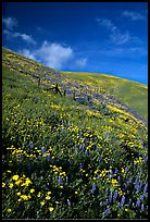 Carpet of coreopsis and lupine, Gorman Hills. California, USA (color)