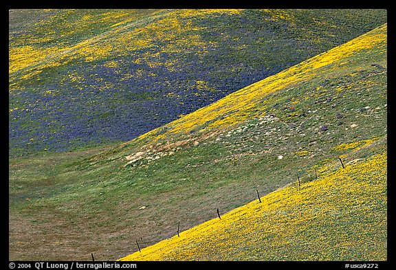 Yellow flowers delineating ridges, Gorman Hills. California, USA (color)
