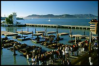 Visitors watch Sea Lions at Pier 39, late afternoon. San Francisco, California, USA