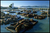 California Sea Lions at Pier 39, late afternoon. San Francisco, California, USA ( color)