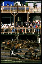 Visitors watching Sea Lions at Pier 39, afternoon. San Francisco, California, USA