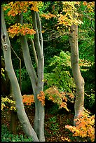 Trees in fall colors, Japanese Garden, Golden Gate Park. San Francisco, California, USA (color)