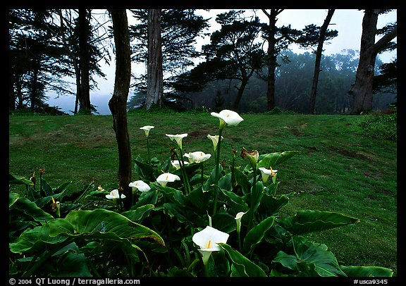 Calla Lily flowers and trees in fog, Golden Gate Park. San Francisco, California, USA (color)