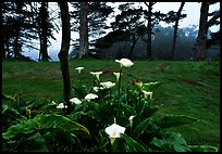 Calla Lily flowers and trees in fog, Golden Gate Park. San Francisco, California, USA ( color)