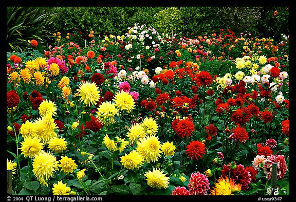 Multicolored dalhia flowers, Golden Gate Park. San Francisco, California, USA