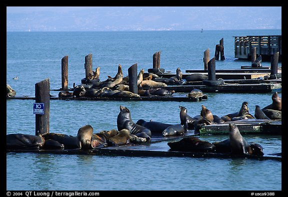 Sea Lions, Fisherman's Wharf. San Francisco, California, USA (color)