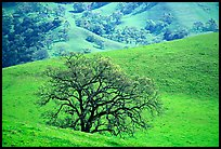 Oak trees and verdant hills in early spring, Sunol Regional Park. California, USA