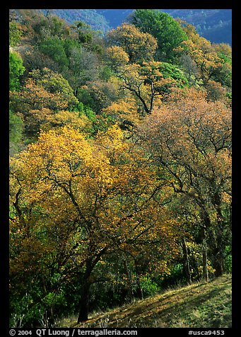 Oak trees with fall colors,  Sunol Regional Park. California, USA (color)