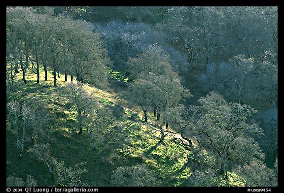 Oak trees on hillside curve, early spring, Joseph Grant County Park. San Jose, California, USA (color)