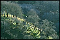 Oak trees on hillside curve, early spring, Joseph Grant County Park. San Jose, California, USA