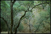 Oak Trees, Sunol Regional Park. California, USA ( color)