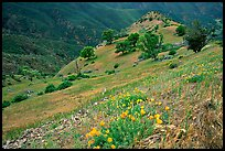 Poppies and ridge, Mt Diablo State Park. California, USA