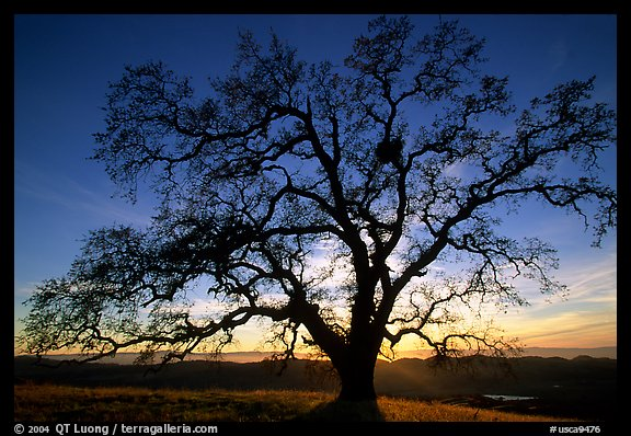 Old Oak tree profiled at sunset, Joseph Grant County Park. San Jose, California, USA