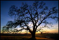 Old Oak tree profiled at sunset, Joseph Grant County Park. San Jose, California, USA ( color)