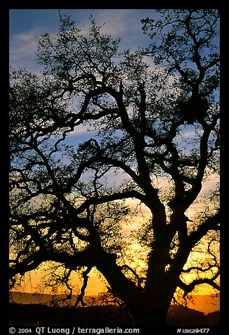 Old Oak tree silhouette at sunset, Joseph Grant County Park. San Jose, California, USA