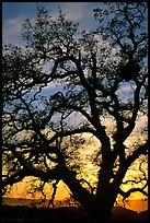 Old Oak tree silhouette at sunset, Joseph Grant County Park. San Jose, California, USA ( color)