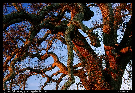 Branches of Old Oak tree  at sunset, Joseph Grant County Park. San Jose, California, USA (color)