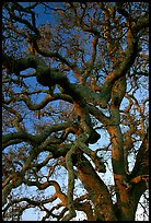 Branches of Old Oak tree  at sunset, Joseph Grant County Park. San Jose, California, USA