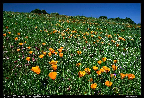 Poppies in the spring, Russian Ridge Open Space Preserve. Palo Alto, SF Bay area, California, USA