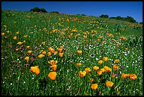 Poppies in the spring, Russian Ridge Open Space Preserve. Palo Alto,  California, USA ( color)
