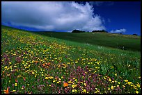 Wildflowers in the spring, Russian Ridge Open Space Preserve. Palo Alto,  California, USA (color)