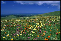 Meadows in the spring, with the Pacific ocean in the distance,  Russian Ridge Open Space Preserve. Palo Alto,  California, USA ( color)